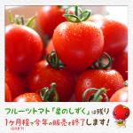 フルーツトマト「星のしずく」今年の販売終了まであと3週間。2014