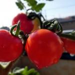 【糖度10度~12度】「春のフルーツトマト星のしずく」の販売を開始致します!